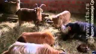 Srpske autohtone rase-konji,krave,bivolice,koze,ovce