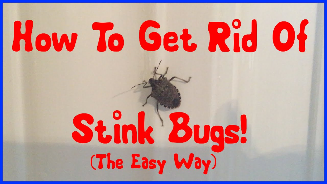 How to Get Rid of Stink Bugs Naturally forecasting