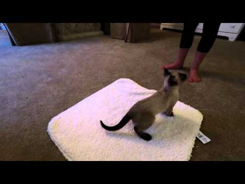 Siamese kitten Koko plays with new toy