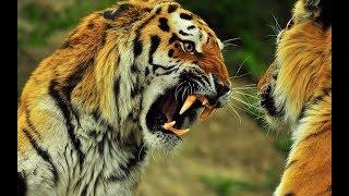 Животные мира Охота тигра Амурский хищник Две тигрицы Усурийская тайга Силовой метод Судьба тигров