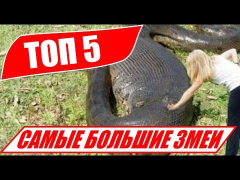 Youtube com анаконда заглотила крокодила