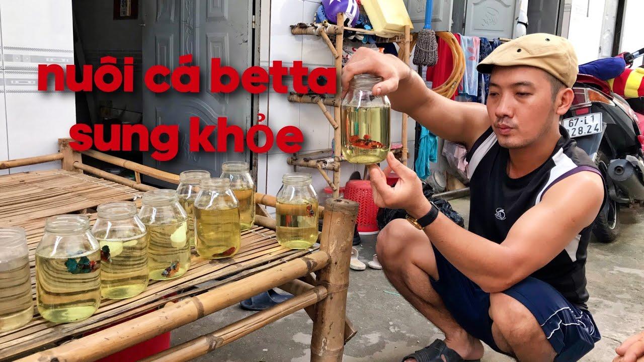 Cách Nuôi Cá Betta Sung khỏe của Chú Phước 60 Tuổi Bình Dương | share how to raise healthy Bettas