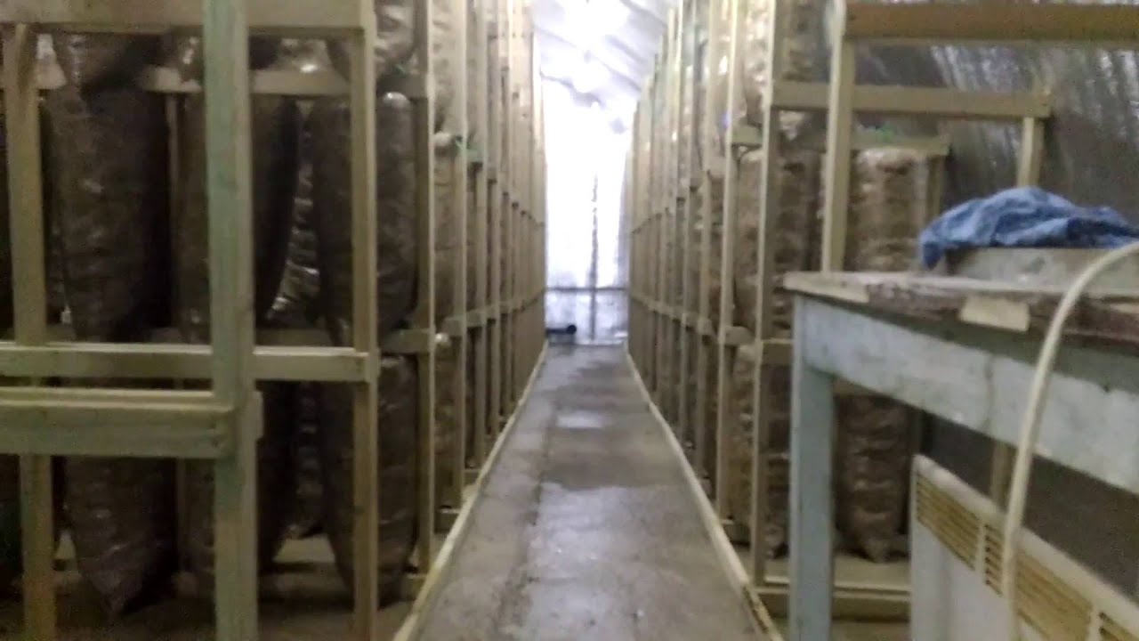 Вешенка, Продаю грибные блоки - oyster mushrooms sell blocks - YouTube
