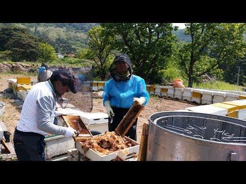 아카시아 꿀 채밀 현장