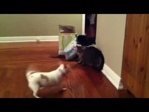 Cat Fight Stopped By Dogs