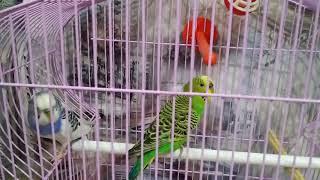 Попугаи чирикают