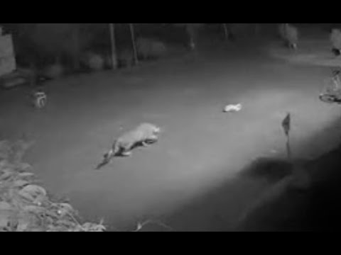 CCTV footage - Leopard in Royal Palms Goregaon