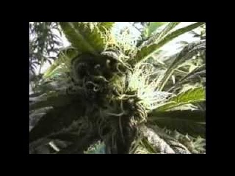 Quality Indoor ijuana Cultivation FULL 2 HOURS How to grow marijuana guide