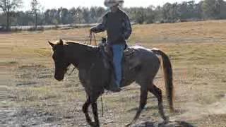Little Red - Quarter Horse Gelding