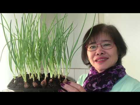 mua lanh ,,Cách trồng  tỏi hành tốt tươi  tai  gia và rât tien
