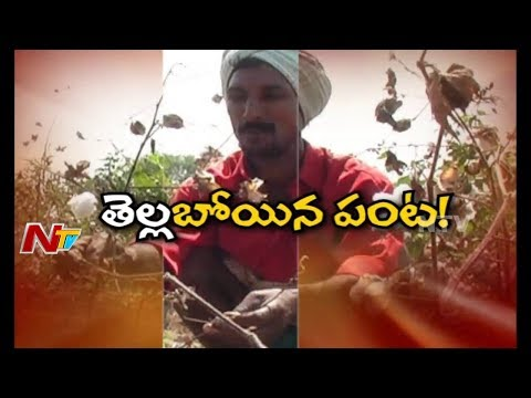 Cotton Farmers Face Problems with Low Market Price in Telangana || Special Focus || NTV