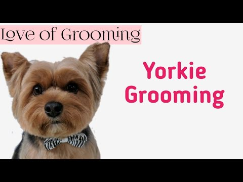 Grooming  a Yorkshire Terrier for Easy Maintenance