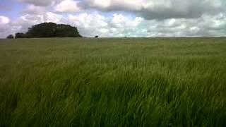 Springer Spaniel Bouncing Through Corn Field