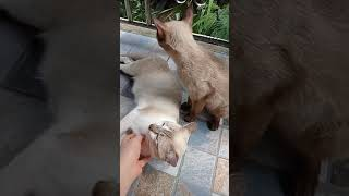 Couple Cat   Cute Cat   Siamese Cat