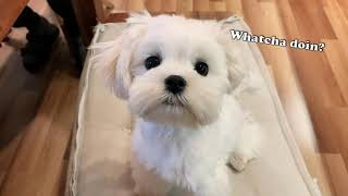 THIS IS THE CUTEST MALTESE PUPPY