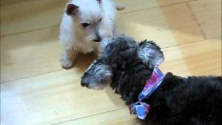 Mini Schnauzer And Westie At Playtime