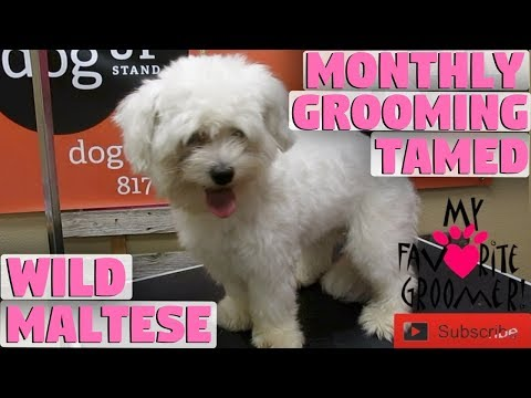 Monthly Grooming Changed A Wild Maltese