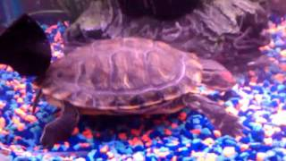 Red Eared Slider Turtle Mating w Pump
