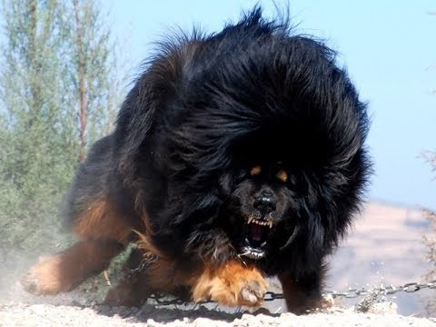 Top 10 Most Expensive & Rare Dogs Breed You Won't Believe Exist