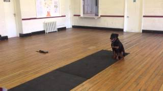 Skye Practicing Wait And Recall - Abbey Dog Training