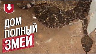Страшная находка: американец обнаружил 45 гремучих змей у себя под полом