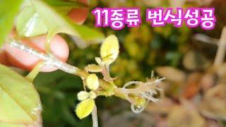 공기정화식물 잎꽂이와줄기 물꽂이 번식방법성공 목베고니아…