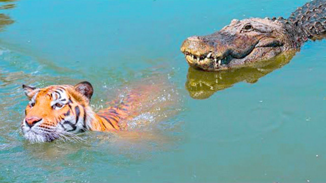 15 Times Animals Messed With The Wrong Crocodile