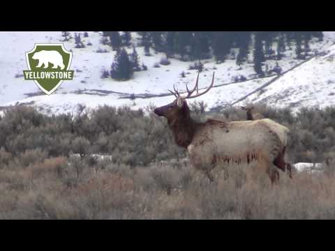 Yellowstone Elk Migrate to National Elk Refuge in Jackson Hole