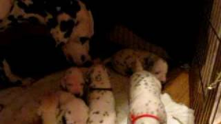 Mazie X Ely  Dalmatian Puppies 17 18 Days Old 033
