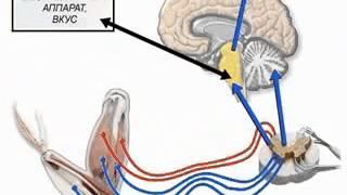 Нервная система - основы. Лекция.