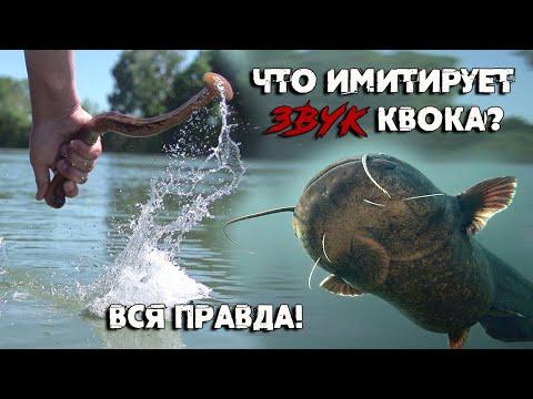 #КВОК: Почему сом идёт на звук квока | Что имитирует звук квока | #Дальке о рыбалке 9