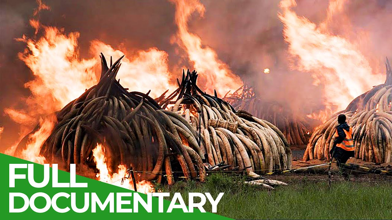 The Dangerous Fight Against Elephant Poaching | Giving Nature A Voice | Free Documentary Nature