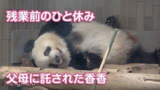 2019/8/11 (2) 「あとは娘に託した!」ひとりで頑張るシャンシャン Giant Panda Xiang Xiang