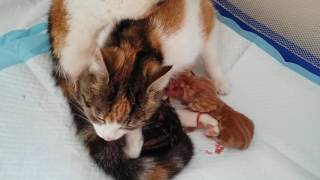 #2 Kotka Pusia - Poród; Cat Gives Birth To 4 Kittens