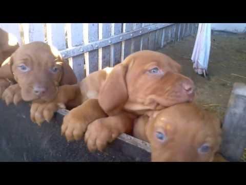 magyar-vizsla-kölykök-/-hungarian-vizsla-puppy's