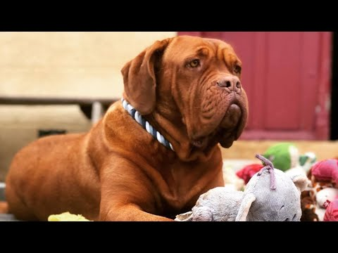 Dogue de bordeaux The best all around dog! Animal Story