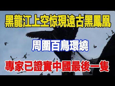 黑龍江上空惊現遠古黑鳳凰,周圍百鳥環繞,專家已證實中國最後一隻!!