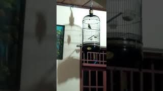 Gambar cover Lovebird ngetik ngekek panjang