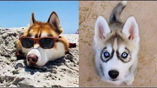 Funniest Husky Dog Videos   Cutest Husky Ever