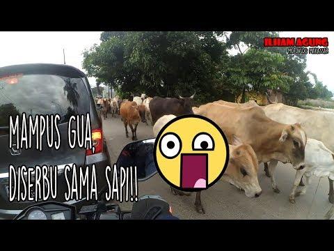 Mampus gw, diserbu sapi!!! | Motovlog makassar #16