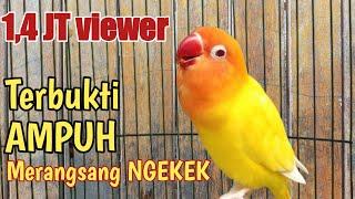 Download lagu Pancingan JITU untuk masteran lovebird ngekek panjang 1 jam NONSTOP