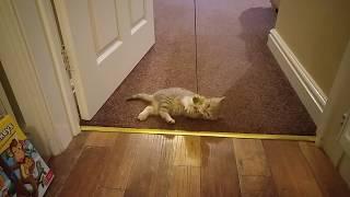 Sweet kitten 🐈Наш любимчик Британский кот Марсель. В какие игры играет котёнок в 2.5 месяца.