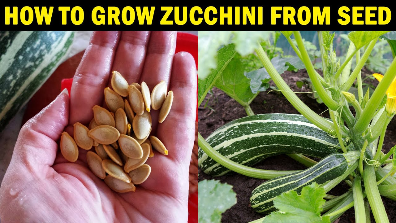 How to grow ZUCCHINI from Seed | How to grow Zucchini (Courgette) at Home