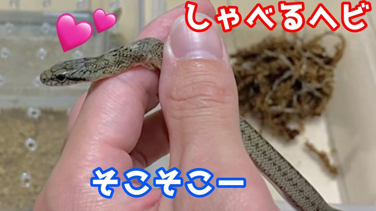 あかちゃんアオダイショウ脱皮のお手伝いするとwww【しゃべるヘビ】♦️Helping baby rat snake molting
