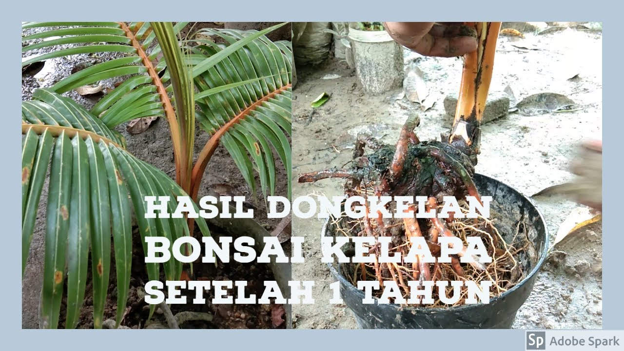 Bonsai Kelapa Gading Setelah 1 Tahun Pasca Dongkelan Youtube