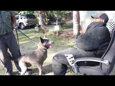 k9 Protection training session with Vanguard k9 & TSK ( Featuring Quattro van Leeuwen )