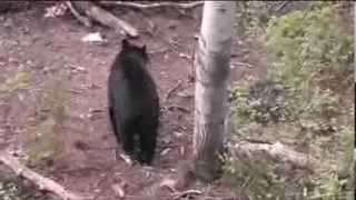 Canada Black Bear Hunting Colored Bears From Blonde To Black in Alberta Canada