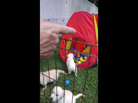 English Cream Golden Retriever Puppies For Sale