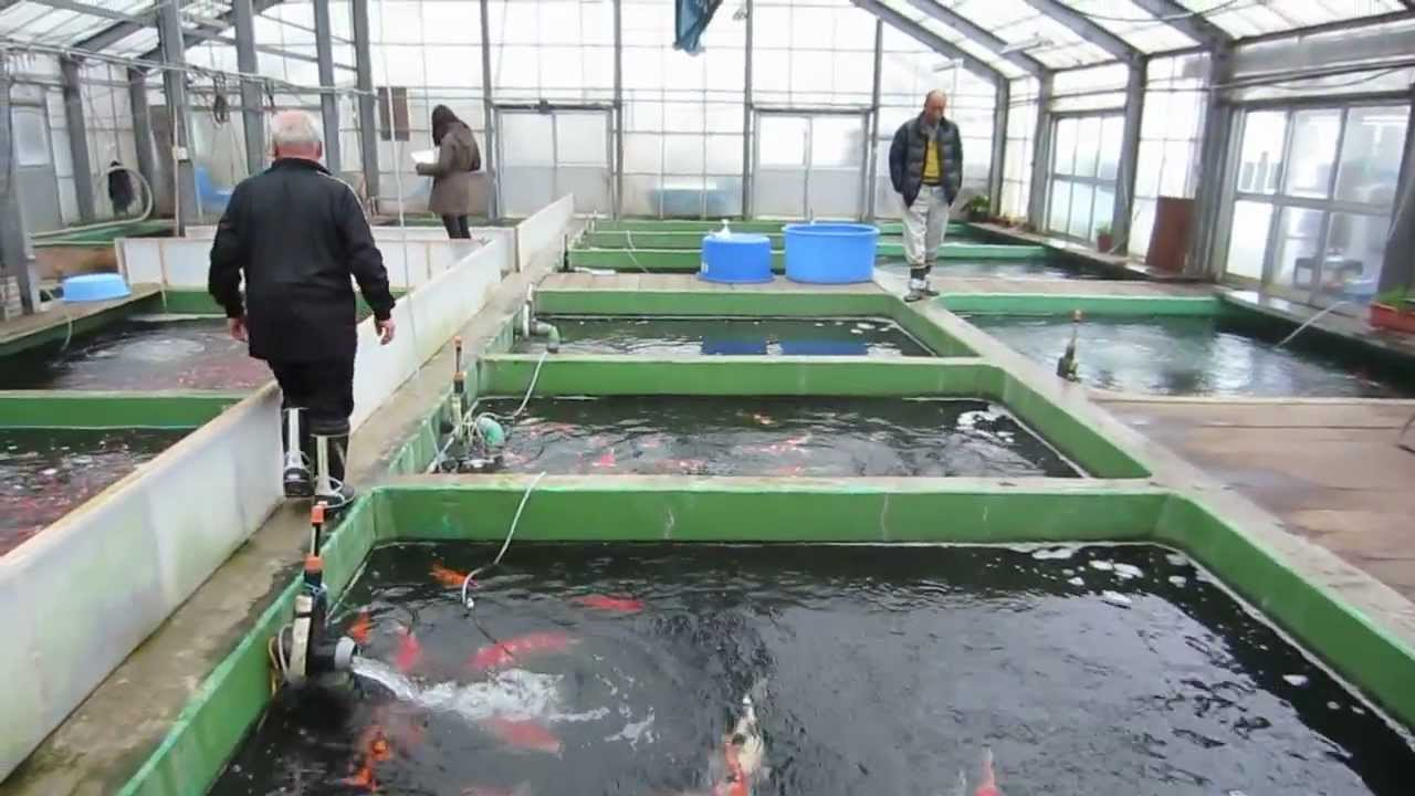Niigata japan koi fish farm tour breeder shinoda koi for Koi hatchery