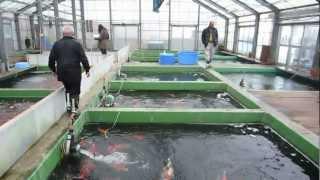 Niigata Japan Koi Fish Farm Tour - Breeder: Shinoda Koi Farm